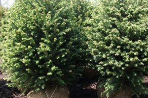 nursery evergreens