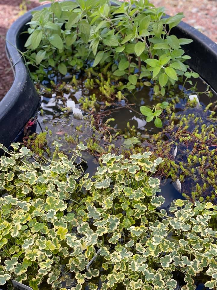 Palmer Nursery Pond Water Plants 5